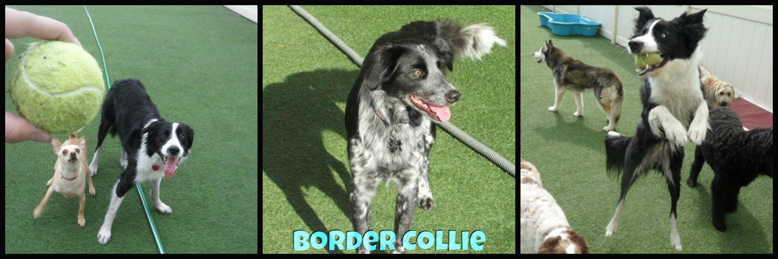 border collies fetchers play and stay